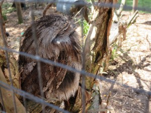 Not an owl, but a tawny frogmouth.