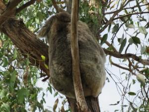 Koala butt