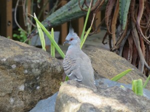 Mohawk Pigeon